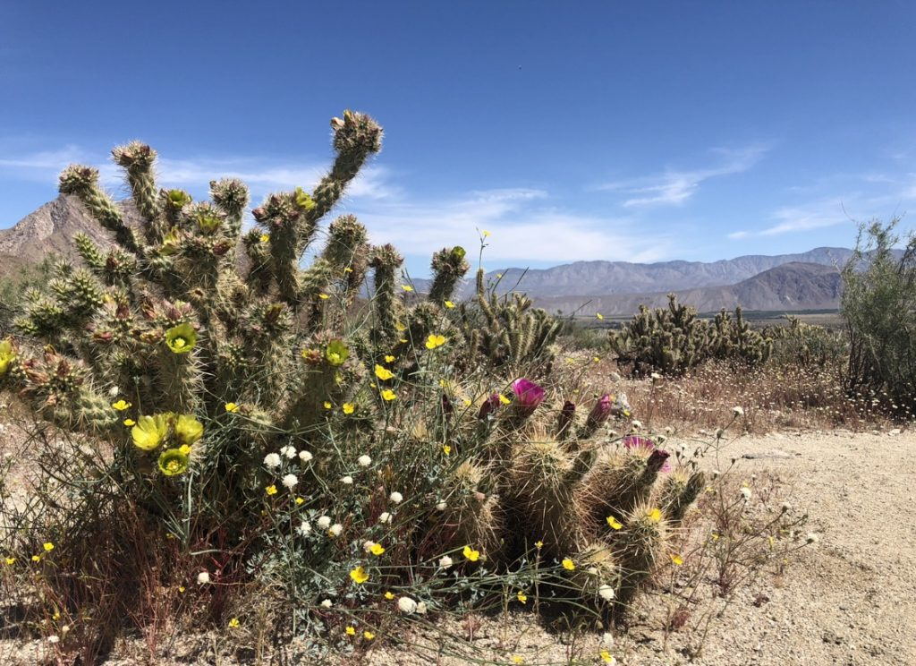 wildflowers Anza Borrego
