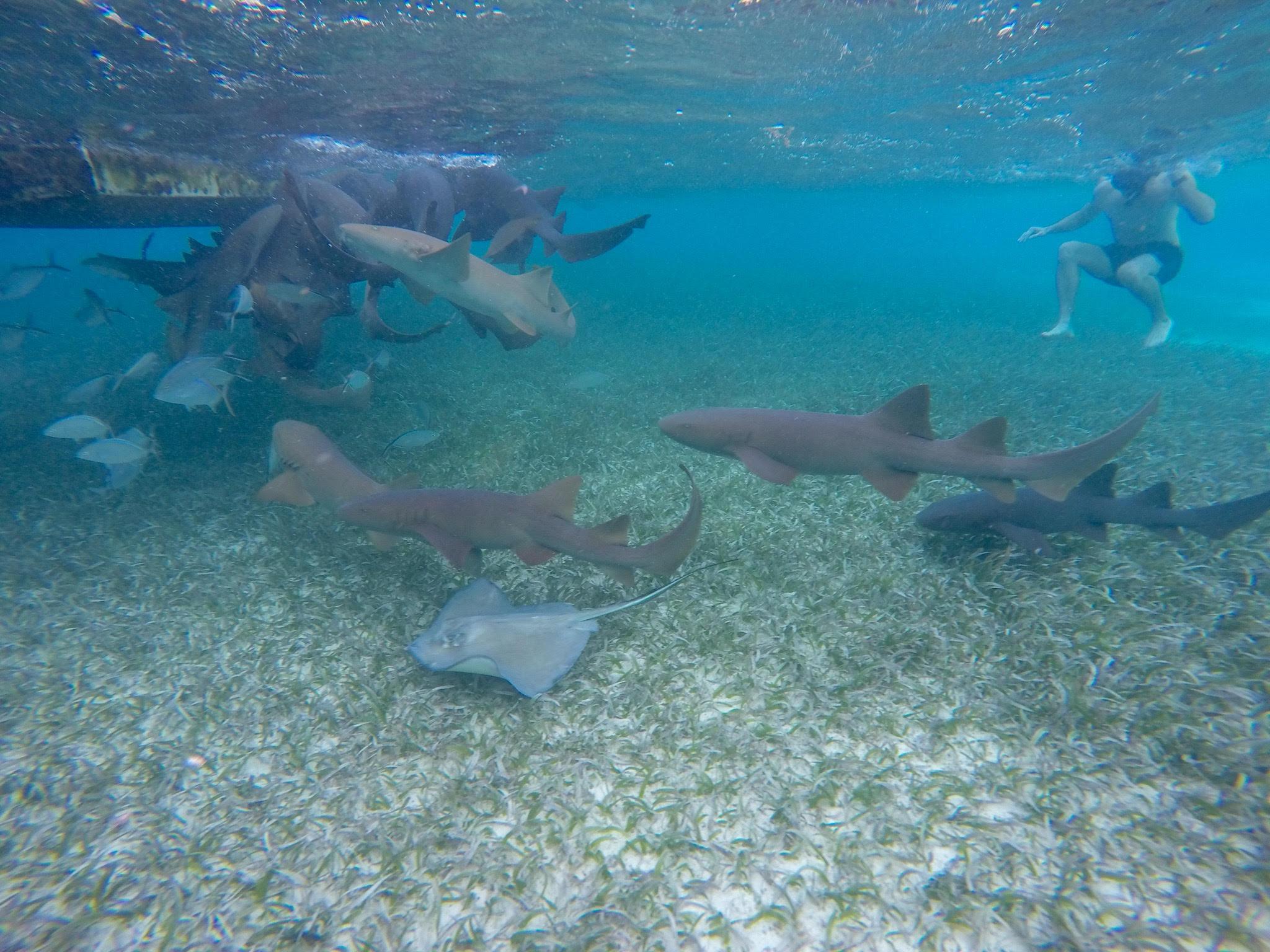 shark ray alley Caye Caulker