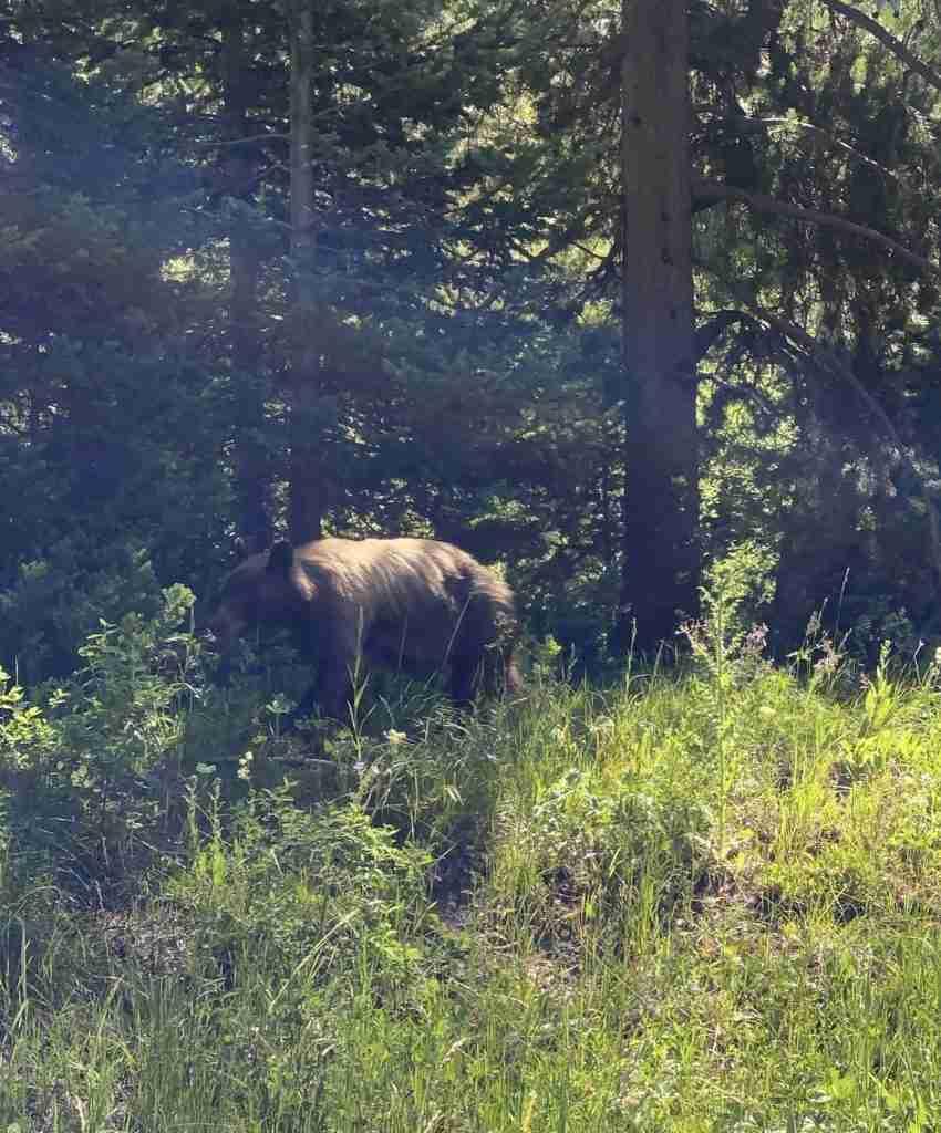 grizzly bear grand teton